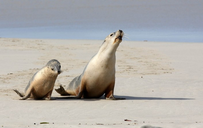 south australian sea lion mum and pup by terry bagley