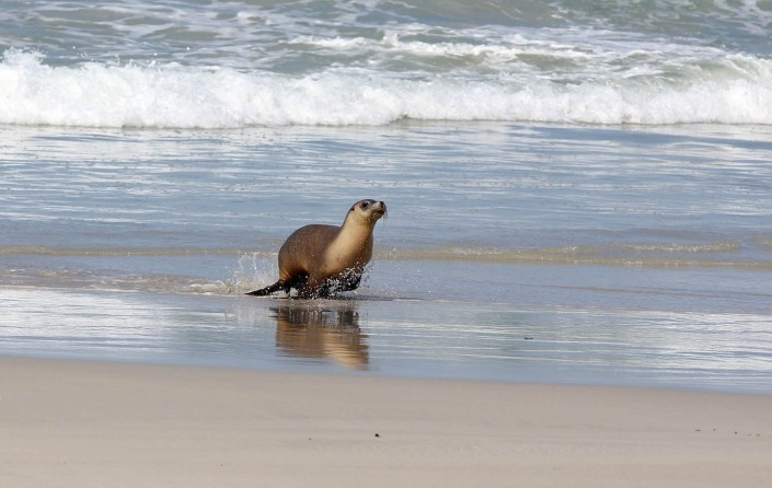 south australian sea lion by terry bagley
