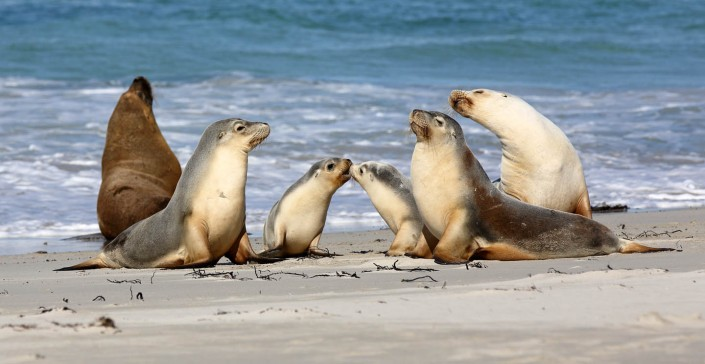 south australian sea lions by terry bagley