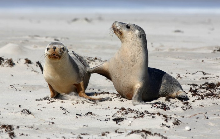 south australian sea lion pups by terry bagley