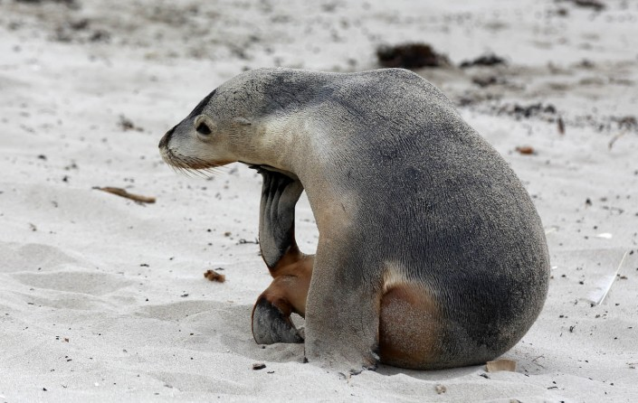 south australian sea lion pup by terry bagley