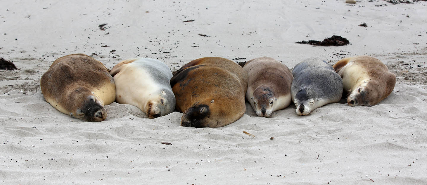 south australian sea lion group by terry bagley