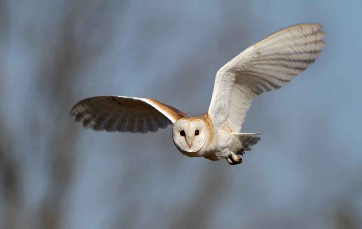 1 barn owl uk british wildlife and nature by terry bagley