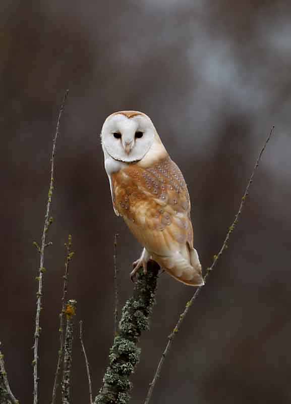 2 somerset barn owl british wildlife and nature by terry bagley