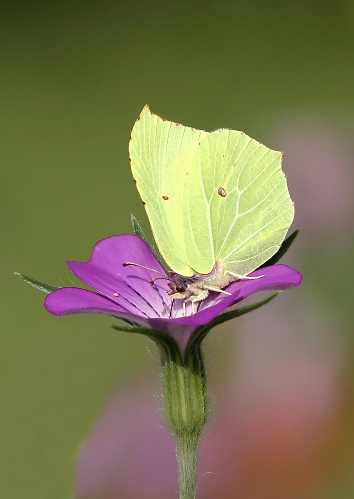 brimstone butterfly british nature photographs by terry bagley