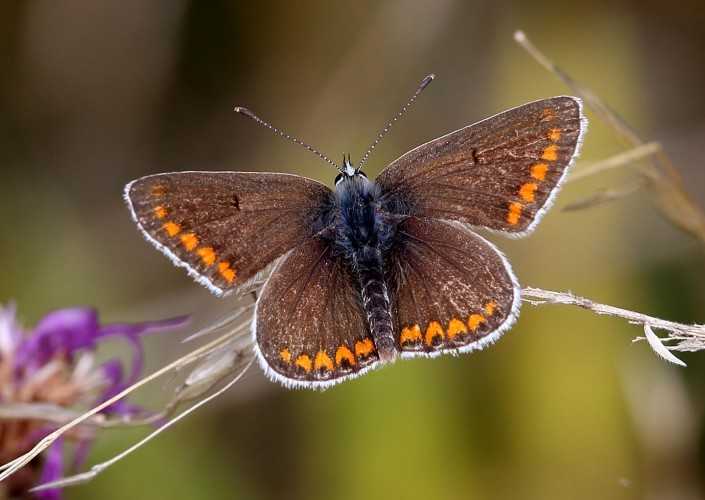 Brown Argus Butterfly british butterfly