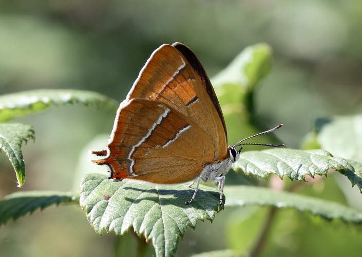 Brown Hairstreak british butterfly