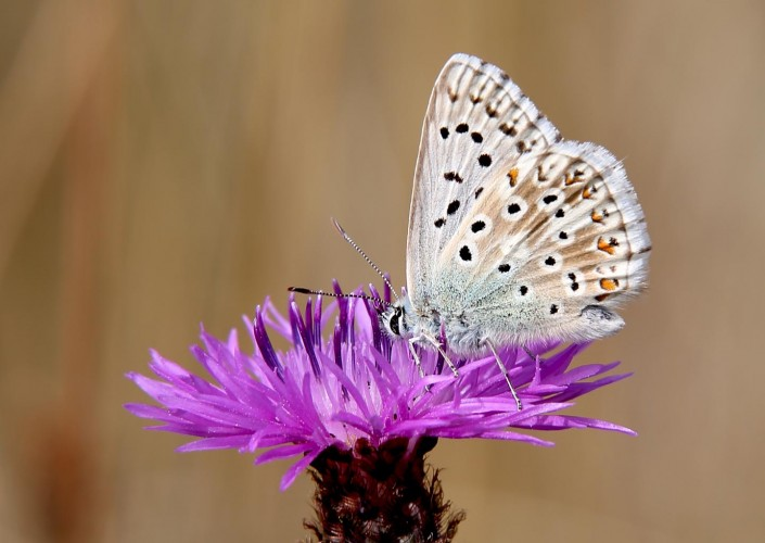 Chalk-hill Blue british butterfly
