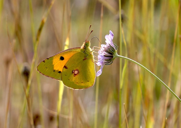 Clouded Yellow Butterfly 1