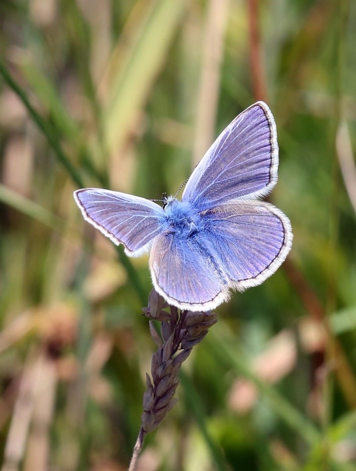 Common Blue Butterfly 1