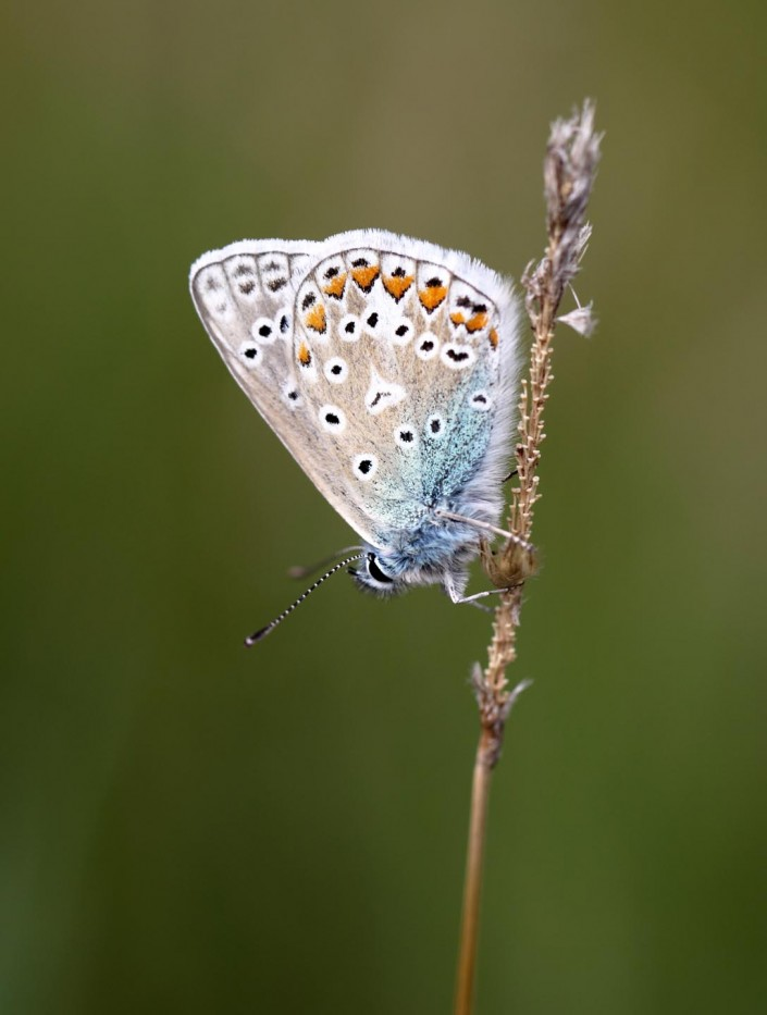 Common Blue Butterfly 3