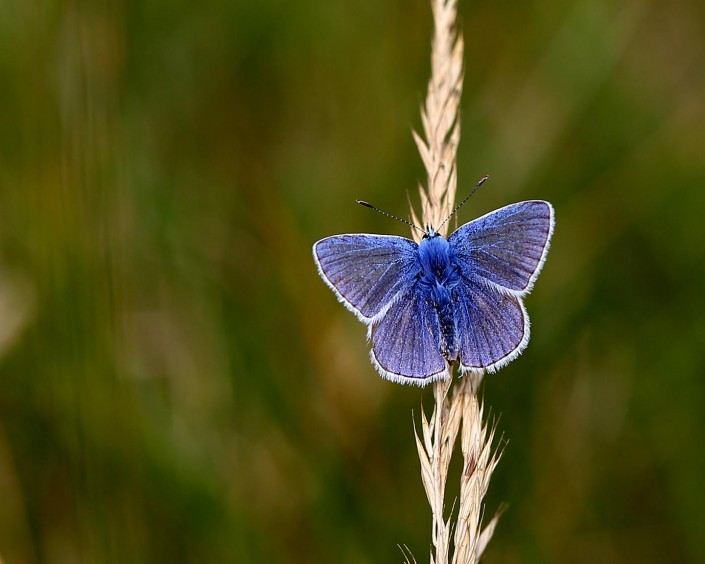 Common Blue Butterfly 4