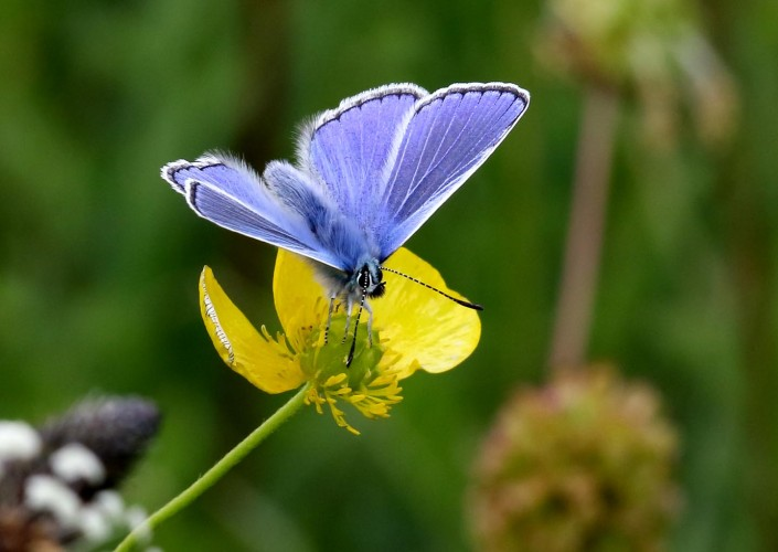 Common Blue Butterfly 5