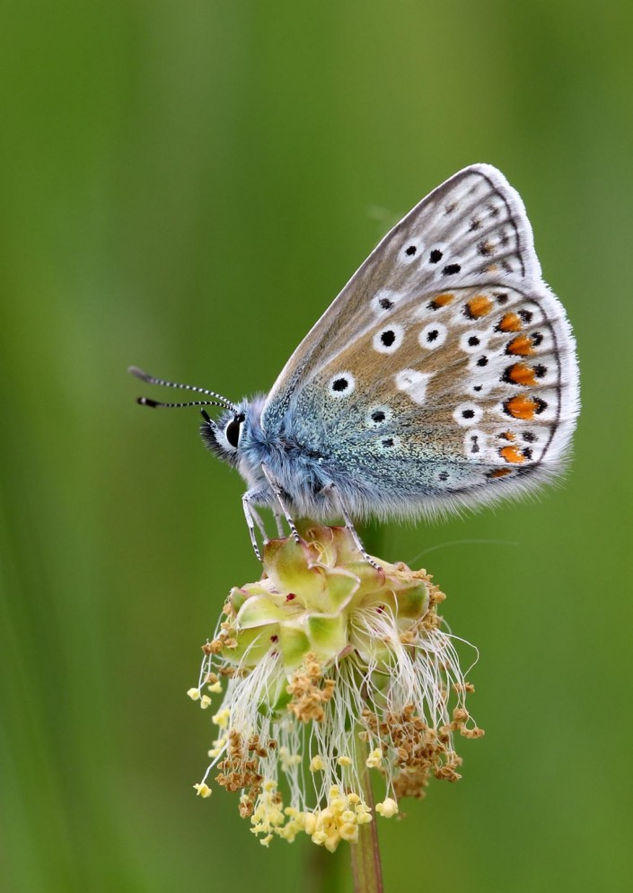 Common Blue Butterfly 6