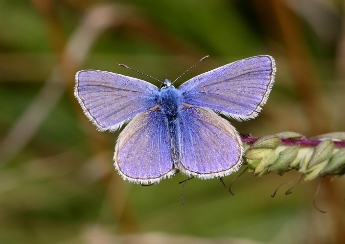 Common Blue Butterfly 7