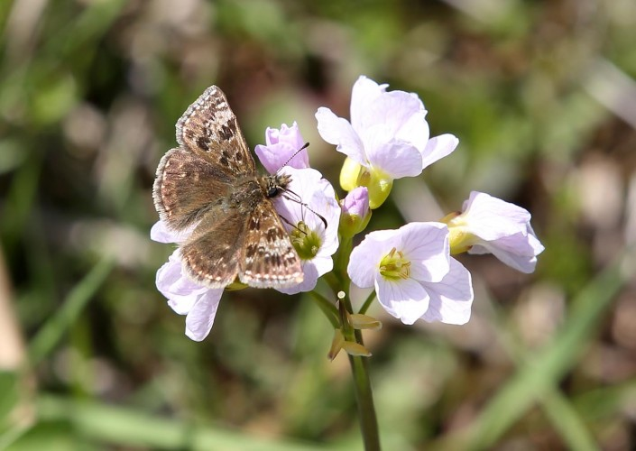 Dingy Skipper Butterfly 1