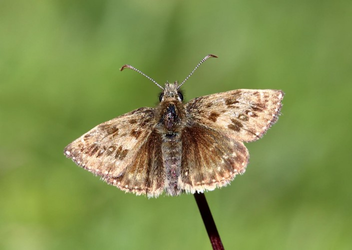 Dingy Skipper Butterfly 2