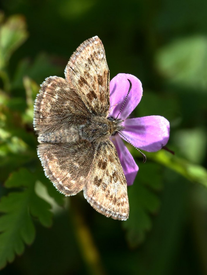 Dingy Skipper Butterfly 3