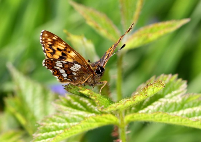Duke of Burgundy Butterfly 1