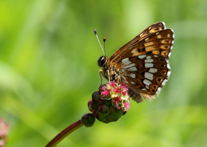 Duke of Burgundy Butterfly 2