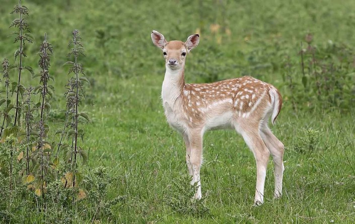 fallow deer fawn by terry bagley