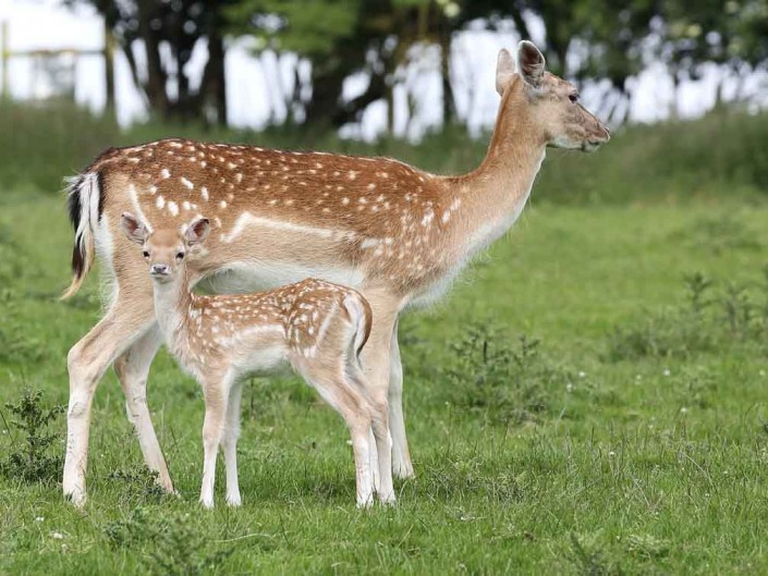 fallow deer doe and fawn by terry bagley