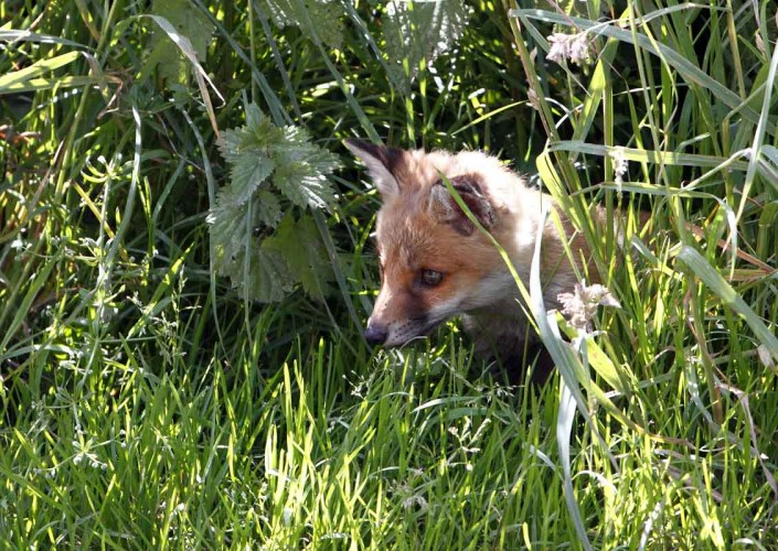 somerset fox cub british wildlife and nature by terry bagley