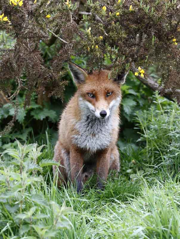 male fox british wildlife and nature by terry bagley