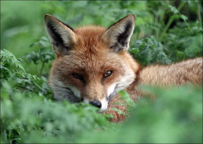 fox british wildlife and nature by terry bagley
