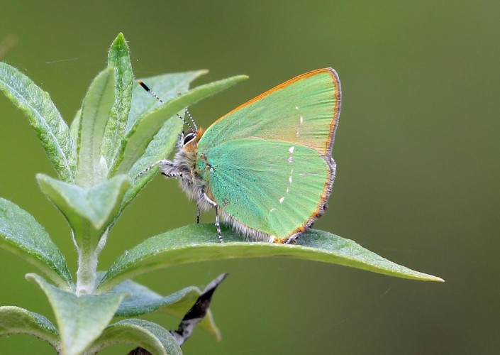 Green Hairstreak Butterfly 1