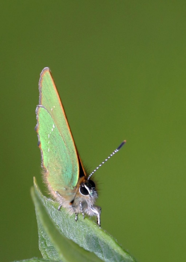 Green Hairstreak Butterfly 2