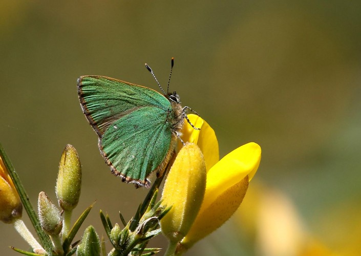 Green Hairstreak Butterfly 3