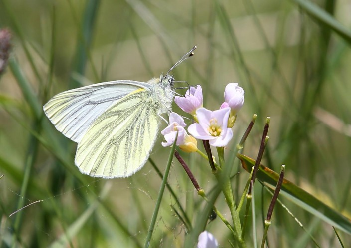 Green-veined White Butterfly 1