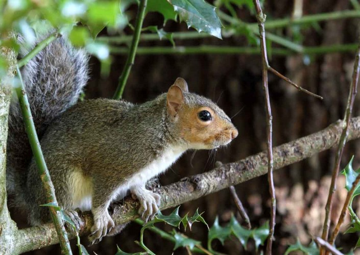 grey squirrel uk british wildlife and nature