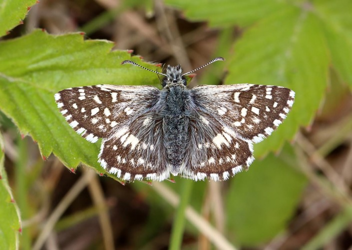 Grizzled Skipper 1