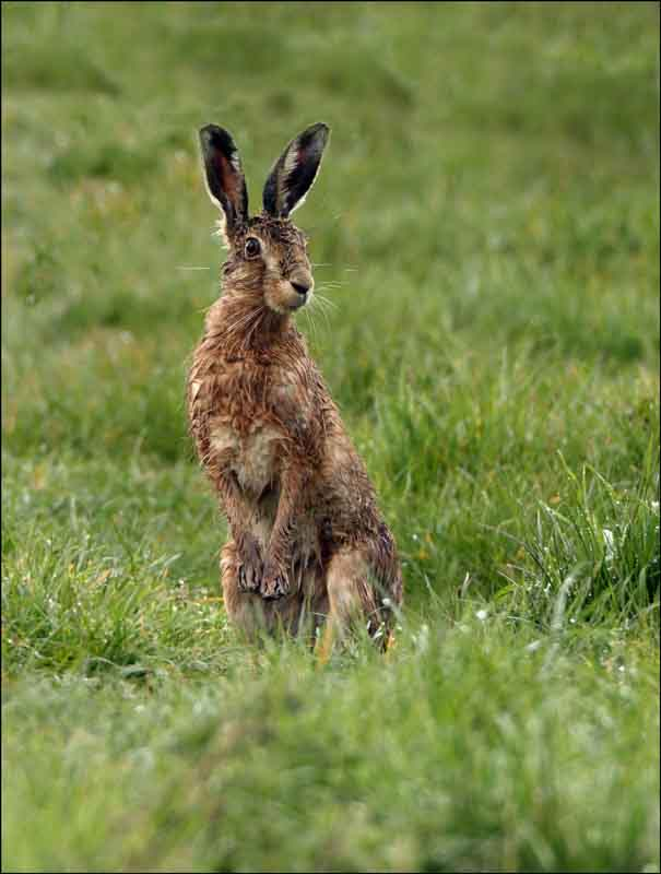 hare uk british wildlife and nature