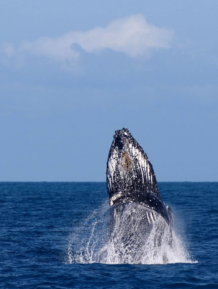 humpback whale breaching by terry bagley