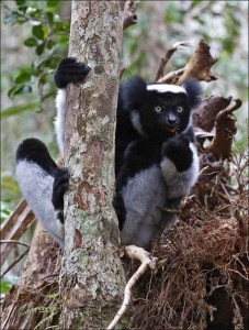 Indri_Andasibe National Park_AT9A1918