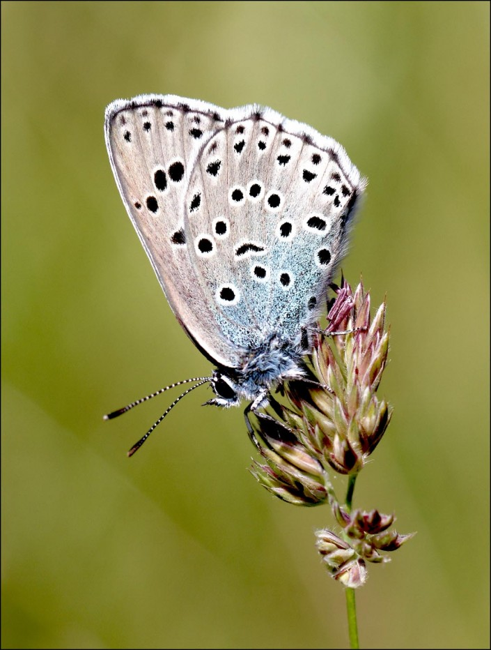 large blue butterfly 1