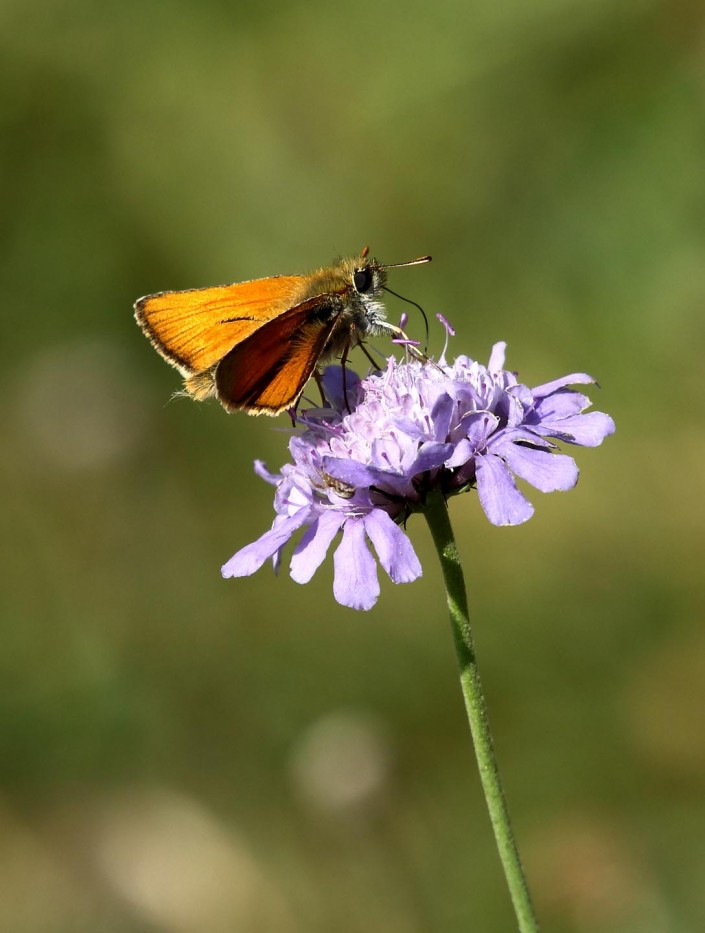Large Skipper 1