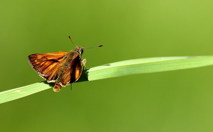 Large Skipper 3