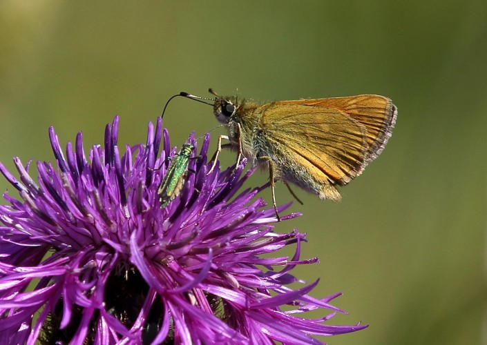 Large Skipper 4