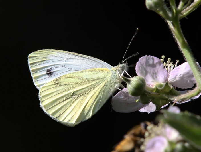 Large White Butterfly 1