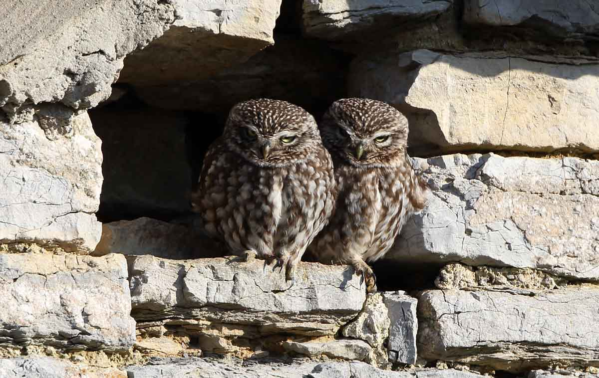 1 somerset little owls uk british wildlife and nature by terry bagley