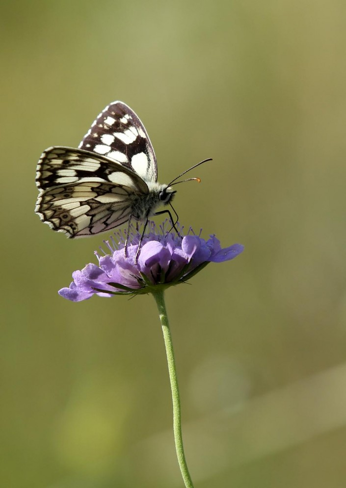 Marbled White Butterfly 1
