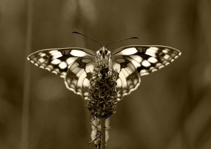 Marbled White Butterfly 4