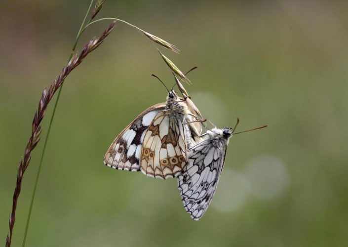 Marbled White Butterfly 5
