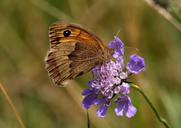 Meadow Brown Butterfly 1