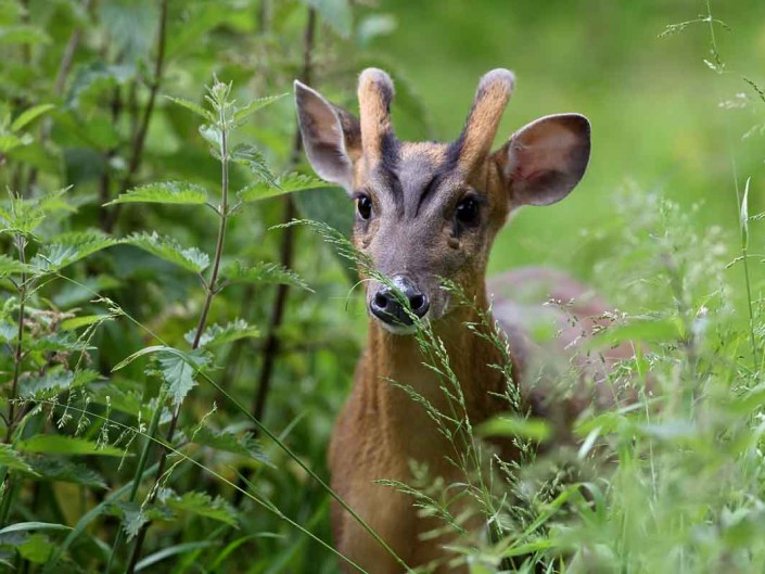 muntjac deer by terry bagley