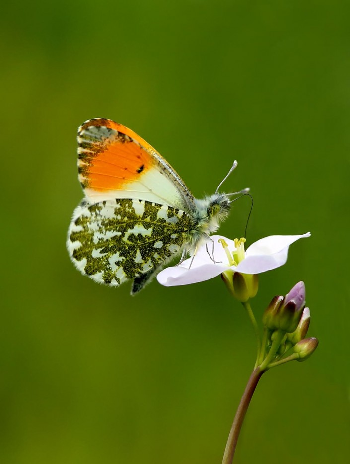 Male Orange-tip Butterfly 1